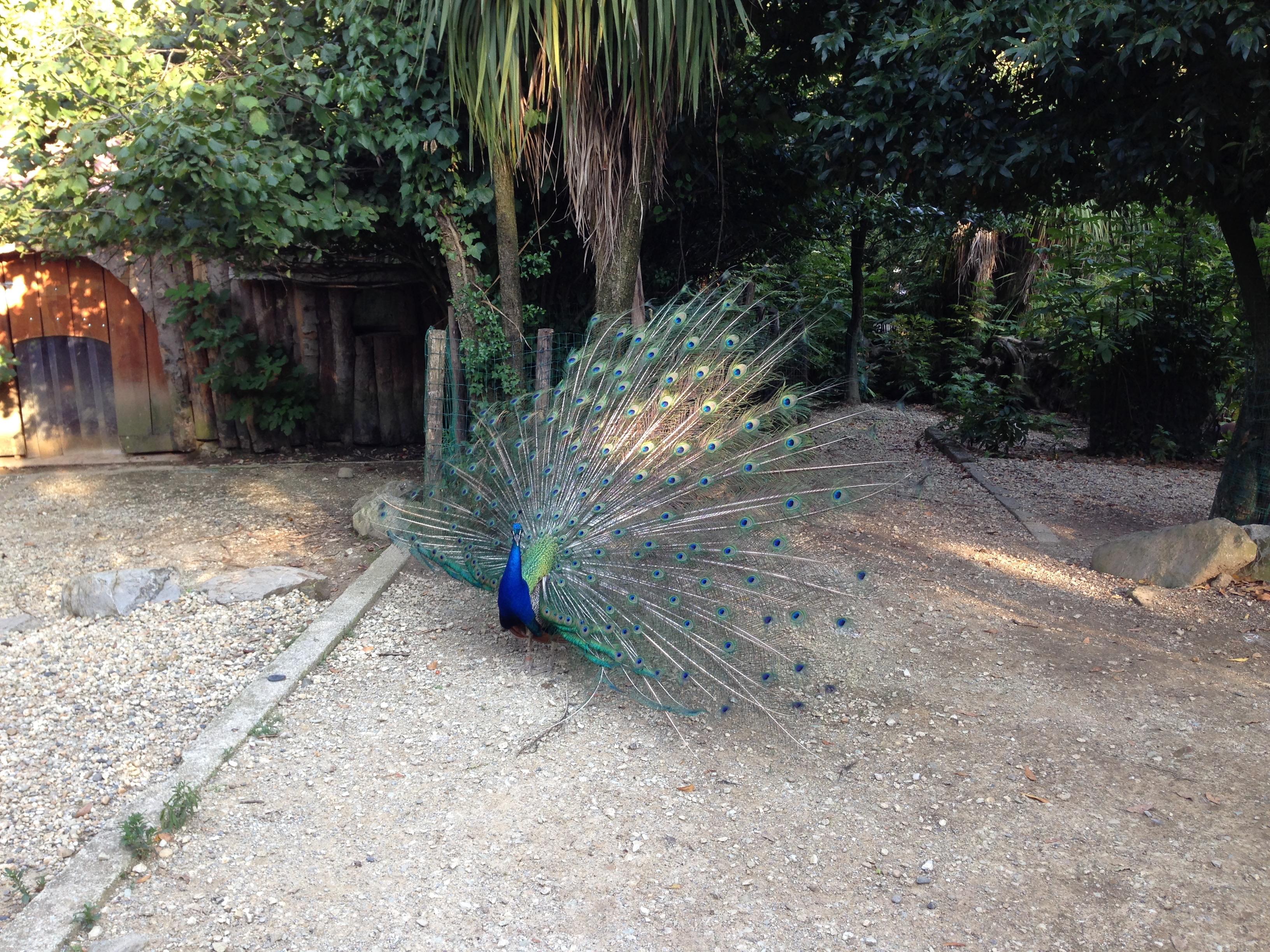 zoo di pistoia, pavone